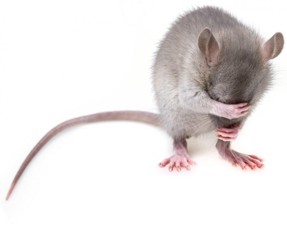 Rotter og mus kan smadre dit hus